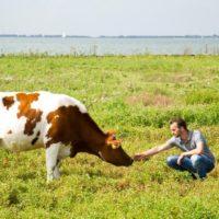 Heerlijke koe dubbeldoel vlees